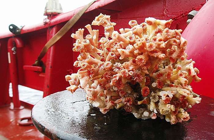 Greenlandic coral. Photo: Bedford Institute of Oceanography.