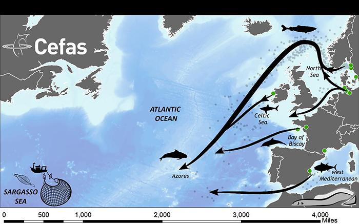 Migration paths of European eels to the Sargasso Sea (arrows).  Release locations are shown as green circles.  Predators are shown in silhouette. The locations of trawl surveys for larval eels that have demonstrated the location of spawning are shown by the fishing vessel.