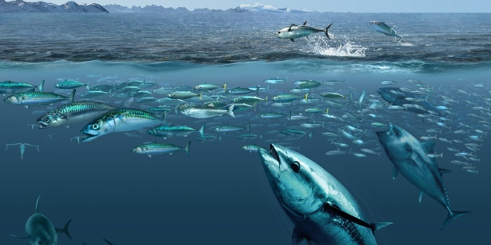 "An artists conception of bluefin tuna feeding on mackerel in waters east of Greenland - recent work by DTU Aqua scientists has highlighted the unprecedented expansion of this species into these waters and work to be presented at the ICES conference will show these shifts to have been predictable"". Illustration by G. Gorick."