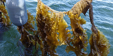 Long-line farm unit for seaweed. Photo: Danish Shellfish Centre