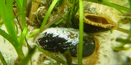 Common mussels. Photo: Per Dolmer