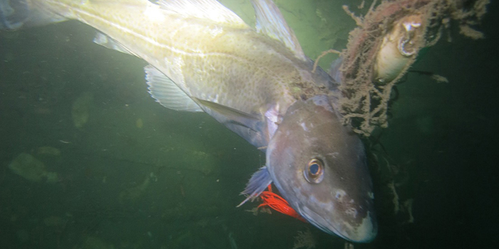 Cod caught in ghostnet. Photo: Emil Vesterager