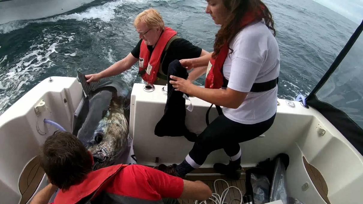 DTU Aqua-forskere mærker blåfinnet tun i 2018. Foto: Kim Birnie-Gauvin, DTU Aqua