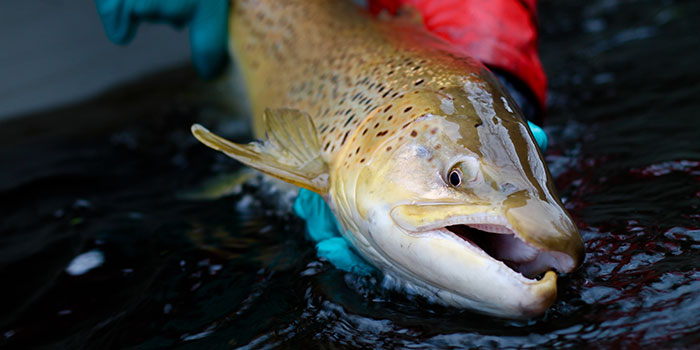Sea trout. Photo: Kim Birnie-Gauvin.