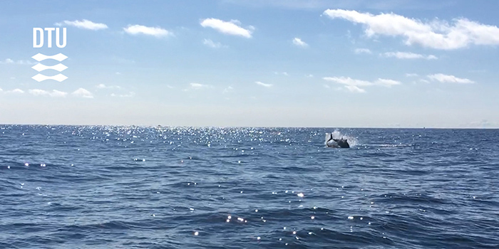 Jumping bluefin tuna from DTU Aquas 2018 tagging project. Photo: Brian MacKenzie, DTU Aqua