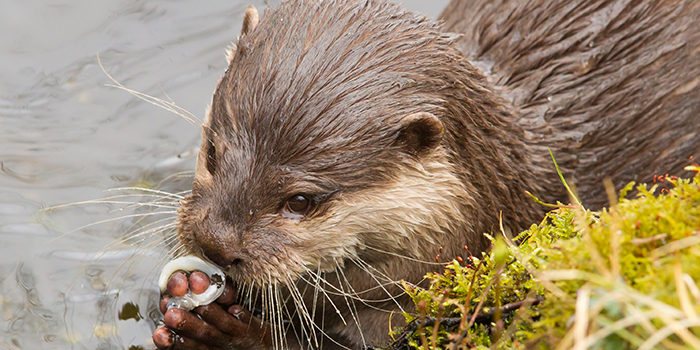 Otter eating a fish. Photo: Colourbox.