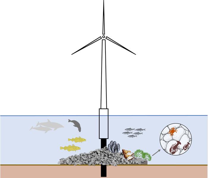 Liv på vindmøllefundament. Grafik: DTU Aqua.