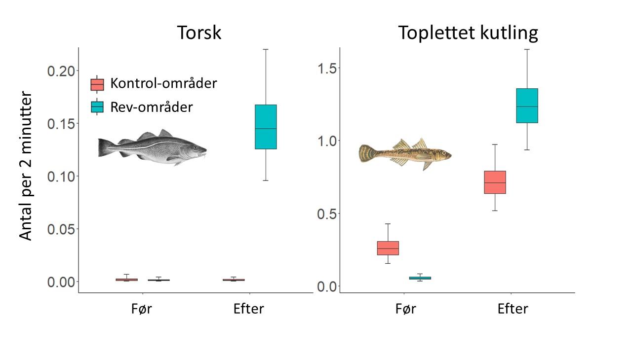 Figur der viser forekomst af torsk og toplettet kutling før og efter etablering af nye stenrev. Figur Tim Wilms