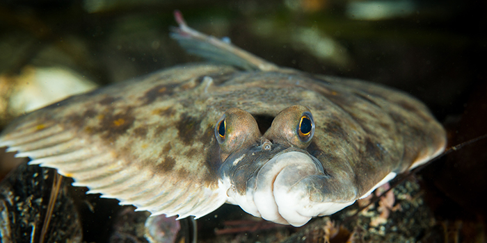 Plaice. Photo: Kenneth Løvholt.